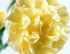 黄色康乃馨