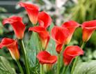 红色马蹄莲