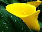 黄色马蹄莲