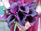 紫色马蹄莲