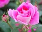 粉红蔷薇花