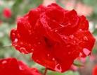 深红色蔷薇花