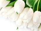 白色郁金香