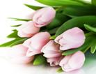 粉色郁金香