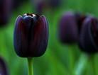 黑色郁金香