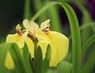 黄色鸢尾花