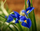 蓝色鸢尾花
