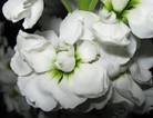 白色紫罗兰