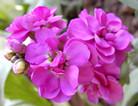 紫色紫罗兰